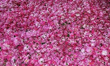 تصاویری زیبا از گلاب گیری قمصر کاشان ( سری جدید )