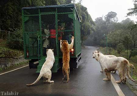 عبور هیجان انگیز از میان حیوانات درنده در باغ وحش چین (عکس)