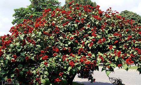 تصاویری از درخت آناتو (رژ لب)