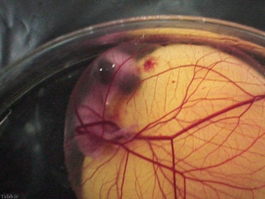 عکس های جالب از مراحل رشد جوجه
