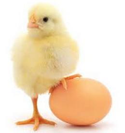 تخم مرغ تقویت کننده سیستم ایمنی بدن