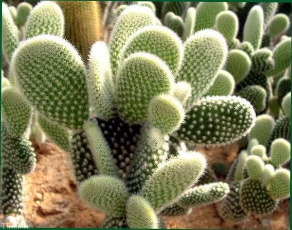 گیاه کاکتوس اِپونتیا