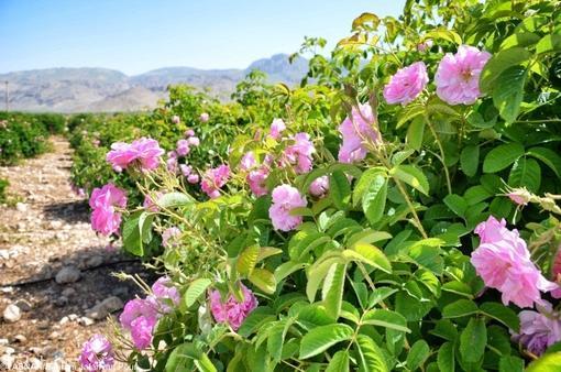 تصاویری زیبا از گلاب گیری قمصر کاشان