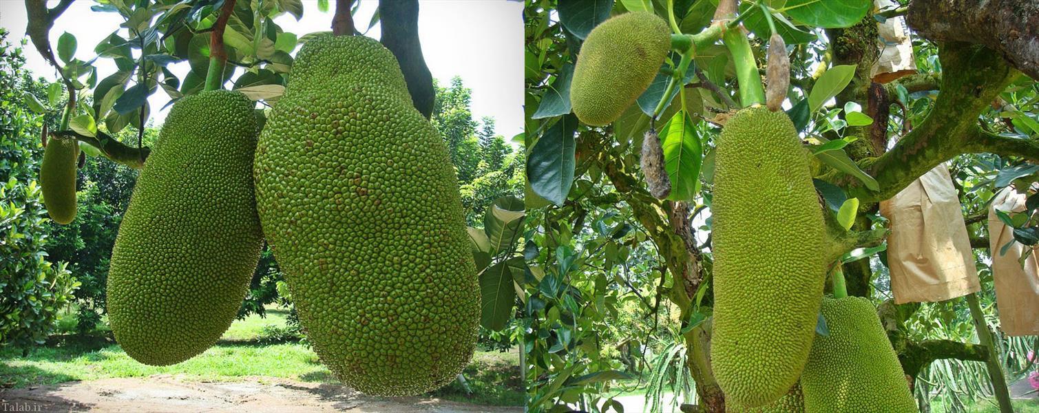 تا به حال از این جور میوه ها دیده اید