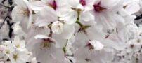 عکس های شگفت انگیز از شکوفه های بهاری