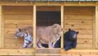 رفاقت و دوستی عجیب 3 حیوان وحشی + عکس