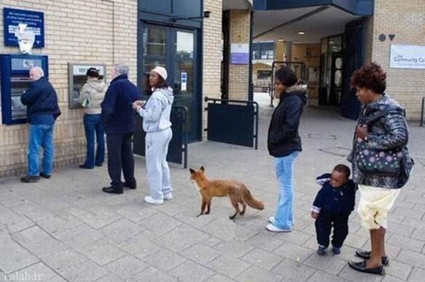 حضور روباه در صف دستگاه خودپرداز + عکس