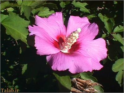 خواص درمانی گیاه گل ختمی – عرق گل ختمی