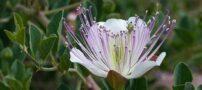 خواص بی نظیر درمانی گیاه کبر