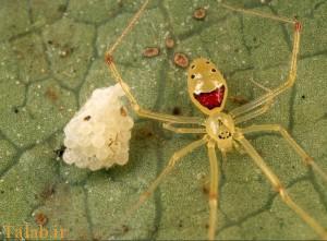 پنج نوع از عجیبترین عنکبوتهای دنیا + تصاویر