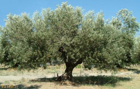 فال مخصوص درخت