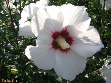 خواص درمانی گیاه گل ختمی - عرق گل ختمی