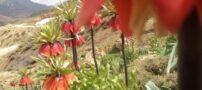 عکس هایی از لاله واژگون شهرستان خوانسار