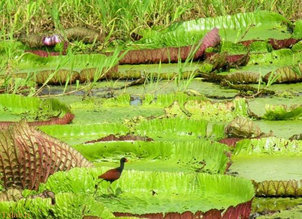 نیلوفرهای آبی غول آسا در رودخانه آمازون