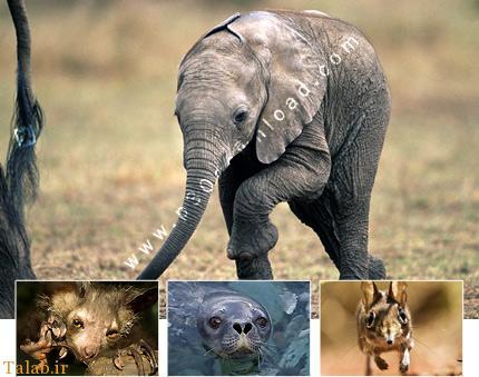 تمایل جالب پستانداران به تکهمسری