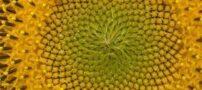 معرفی گیاه آفتابگردان، هلیانتوس
