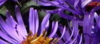 گیاه باغی گل ستاره (آستر)