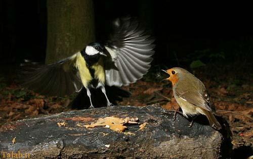 این پرنده عجیب یک زامبی است + عکس