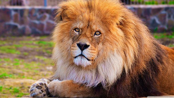 عکس های با کیفیت از شیر سلطان جنگل