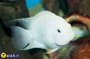 آشنایی با ماهی سیچلاید سفید