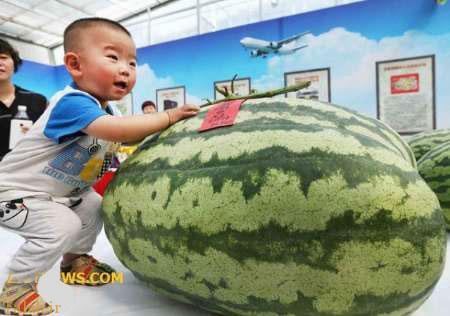 رکورد جالب هندوانه 80 کیلویی در چین + عکس