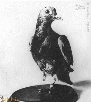 کبوترهای نامه بر در جنگ جهانی اول + عکس