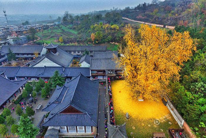 برگ ریزان رویایی درخت 1400 ساله در چین (عکس)