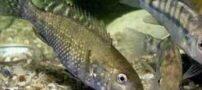 ماهی سیچلاید ایرانی