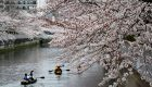 عکس های زیبا از شکوفههای گیلاس در چین و ژاپن