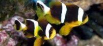 آشنایی با دلقک ماهی دوخط آب شور