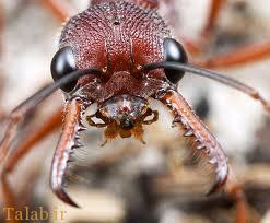 مورچه های آدمخوار جان یک زن را گرفتند !