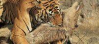 عکس های جالب از لحظه شکار گوزن توسط ببر