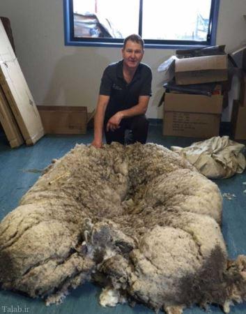پشمالو ترین گوسفند جهان (عکس)