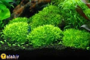گیاه آکواریومی ریکسیا