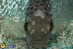 آشنایی با بیماری حفره در سر ماهی