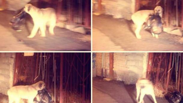 سگ پاکبان در خلخال (عکس)