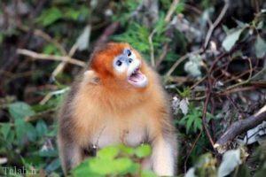 غم و ناراحتی میمون مادر بعد از مرگ فرزندش (عکس)