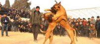 تصاویری از نبرد خونین و وحشتناک سگ ها