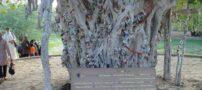 درخت مقدس ۶۰۰ ساله در جزیره کیش + عکس