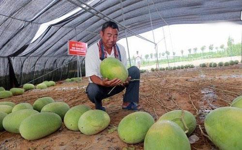 بوته عجیب هندوانه در چین 131 هندوانه داد (+عکس)