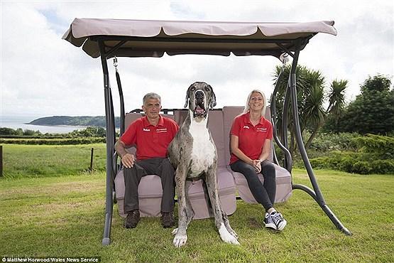 غول پیکرترین سگ دنیا و ترس جالب اش (تصاویر)
