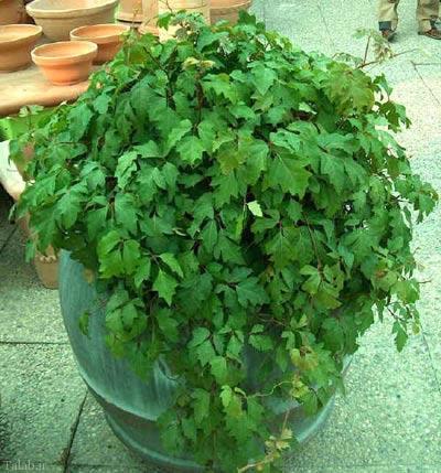 گیاه آپارتمانی سیسوس