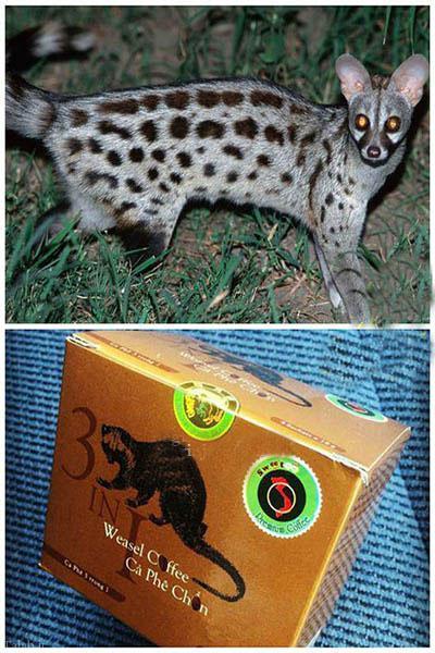 گرانترین قهوه جهان از مدفوع این حیوان + عکس