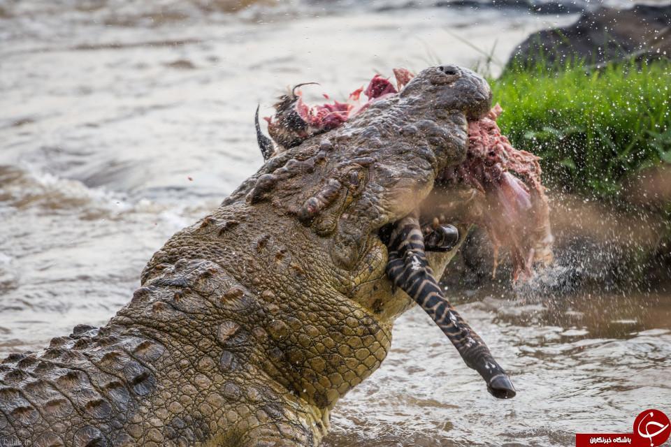تصاویر شکار یک گورخر توسط تمساح +16