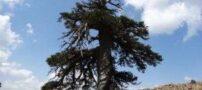 این درخت پیر ترین موجود زنده در اروپا است (عکس)