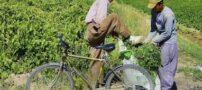 زندگی شرافتمندانه این کشاورز قوچانی (+ تصاویر)
