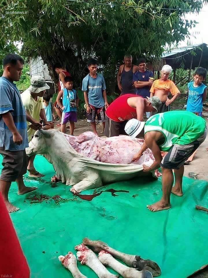 تصویر گاوی که زنده زنده پوستش را می کنند +18