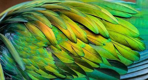 عکس «کبوتر نیکوبار»کبوتر زیبا و رنگارنگ
