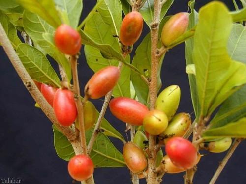 تصاویر عجیب ترین میوه دنیا در آمریکایی جنوبی