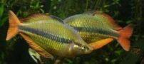 آشنایی با ماهی رنگین کمانی تبرا